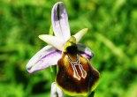 Likya orkidesi,likya orkidesi koruma altına alındı