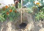 hektari,hektari ekimi,hektari fidanı nasıl ekilir, hektari meyvesi