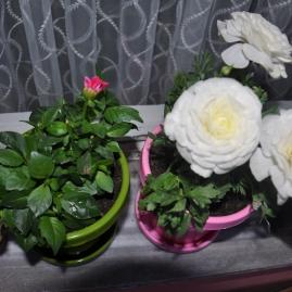 Güzel kokulu şakayık,şakayık çiçeği bakımı,şakayık çiçeği sulaması,beyaz şakayık çiçeği