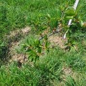 Çiçek Açan Vişne Ağacı