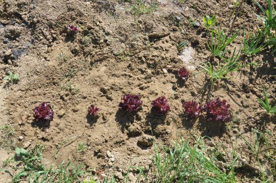 Kırmızı Kıvırcık bakımı,Kırmızı Kıvırcık sulaması, Kırmızı Kıvırcık ekimi, lollorosso