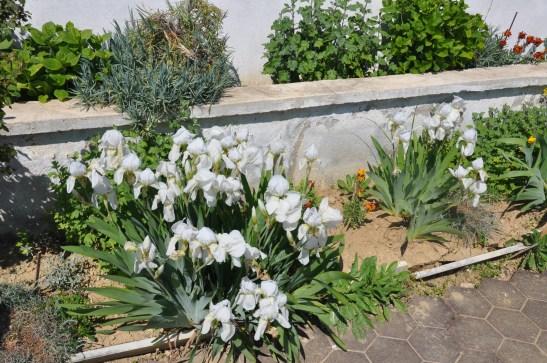 zambak bakımı,zambak yetiştirmek,lilyum,lily,lilium