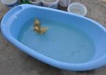 ördek bakımı,ördek yetiştirmek,duck, caring a duck,ördekler nasıl büyür