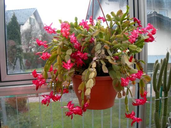 Yılbaşı Çiçeği Kokina Nedir Bakımı Nasıl Yapılır Efsanesi Nedir 95