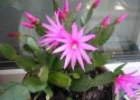 sadece kışın açan yılbaşı çiçeği,yılbaşı çiçeği bakımı,yılbaşı çiçeği,tılbaşı çiçeği çoğaltılması,yılbaşı çiçeği sulanması