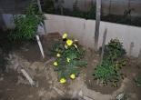 ezan çiçeği,akşam ezanında açan çiçek,müslüman çiçeği,ezan çiçeği bakımı,ezan çiçeği sulanması,ezan çiçeği çoğaltılması