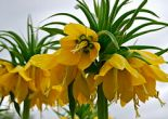 TERS LALE,LALE NASIL BAKILIR,LALE NASIL SULANIR,Fritillaria imperialis