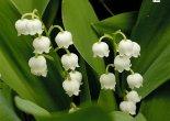 çan bitkisi çiçeği,çan bitkisi çiçeği nasıl sulanır,çan bitkisi çiçeği nasıl bakılır,çan bitkisi çiçeği nasıl dikilir.