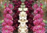 şebboy çiçeği nasıl bakılır